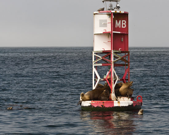 Sea Lions on Morro Bay buoy by mikebaird