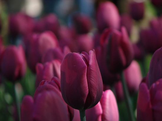 Tulips by thejaswi